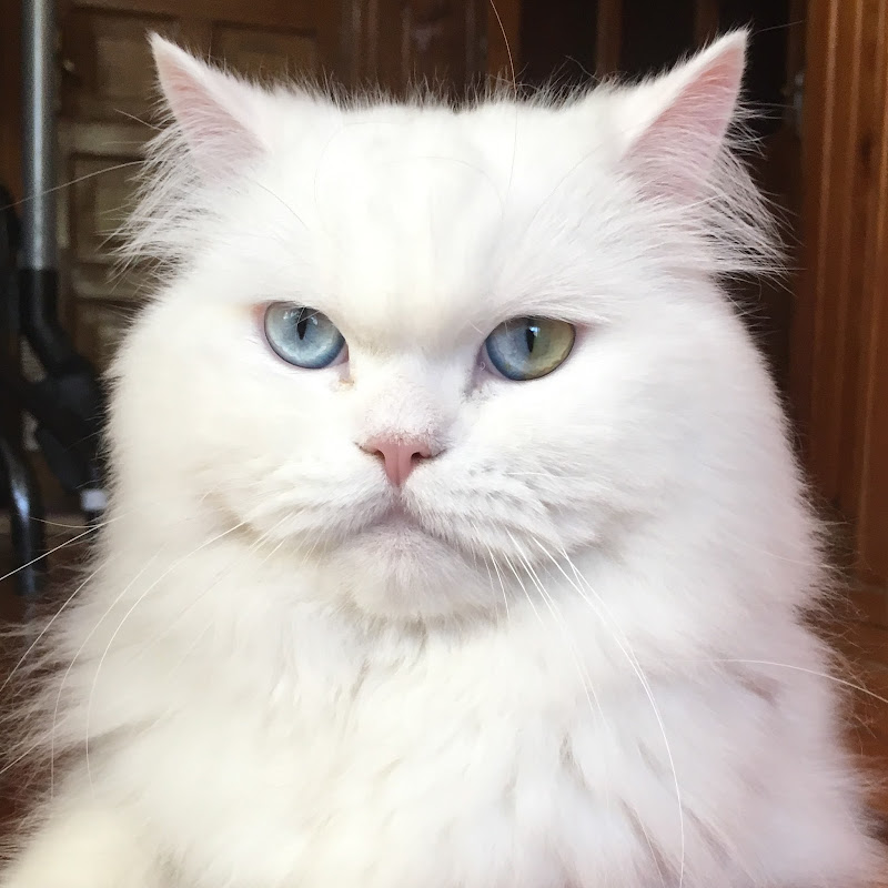 Dünyadaki 66 Kedi Irkı 66 Cat Breeds In The World Funnycattv