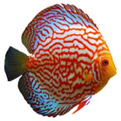 Voronezh-fish