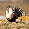 Sage Grouse Initiative