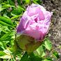 Роза Ветров