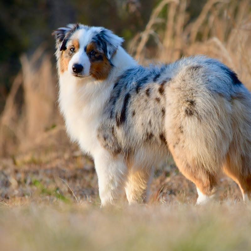 Davishire Australian Shepherds