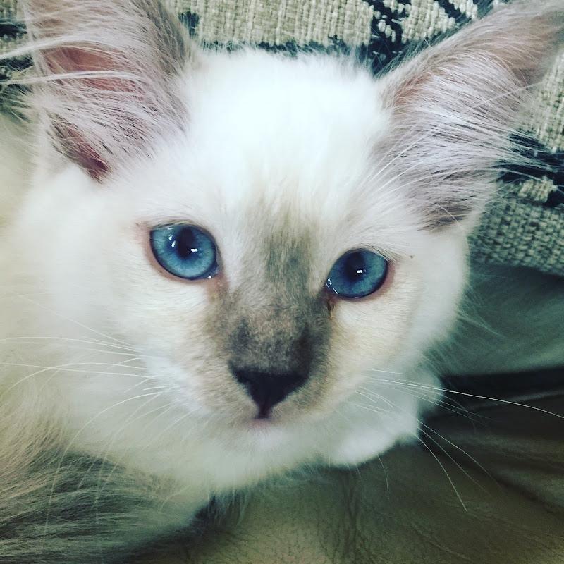 Ragdoll Kitten Life