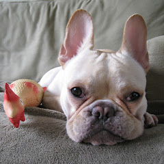 Percy the Frenchie