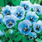 Pansy See