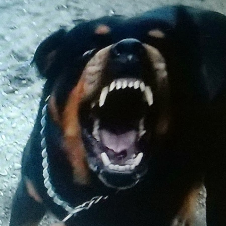 Hank And Brutus Rottweiler Twins Youtube
