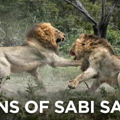 The Mapogo Lions