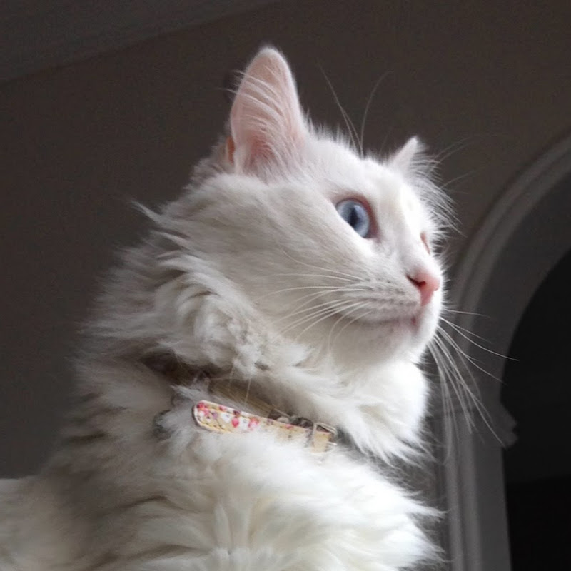 a1c983c7eb Angry Turkish van cat hissing and growling