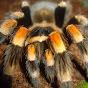 TarantulaAddict