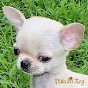 Chihuahuas Villa del
