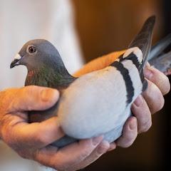 Pigeons Luxury