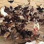 Thai sitheng chicken farm