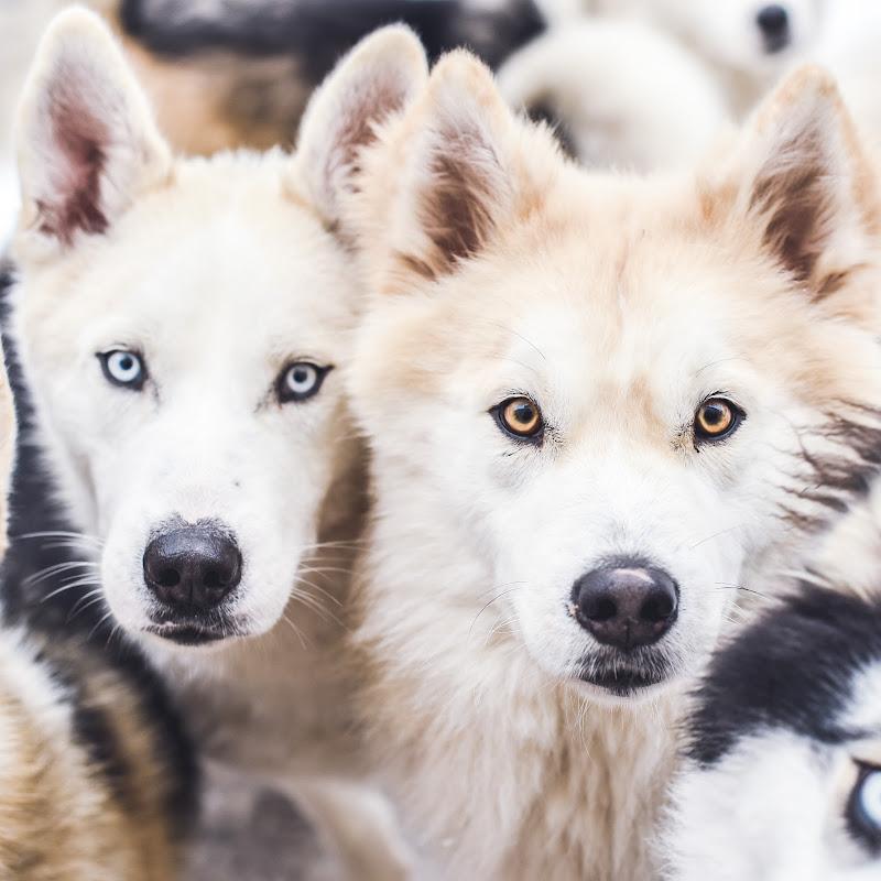 The Husky Family