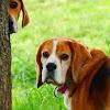 Beagle Welfare