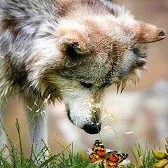 Wolfspanglish