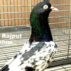 Shahid Rajput Pigeons