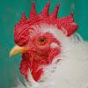 United Poultry Concerns
