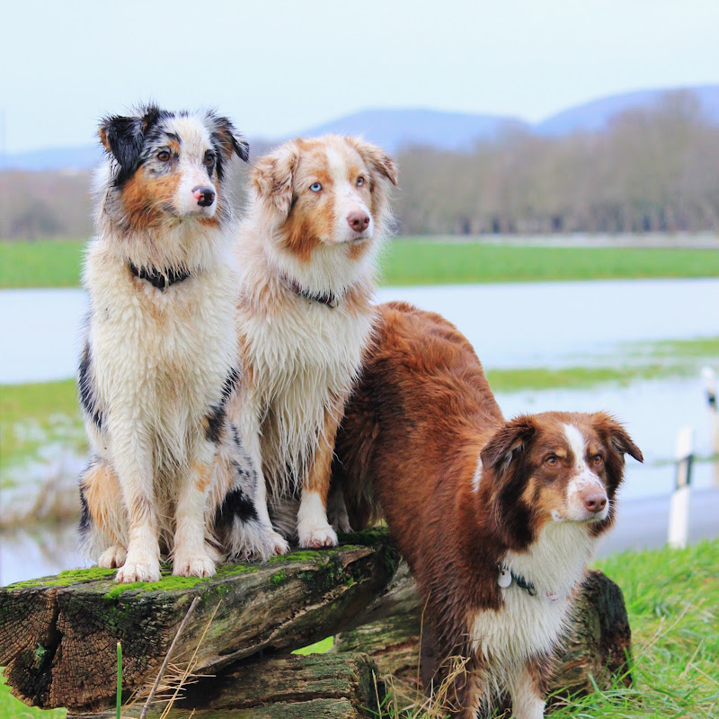 Australian Shepherds Amy, Joy und Liv