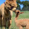 Alpaca Owners Association