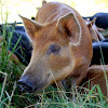 Niche Meat Processor Assistance Network