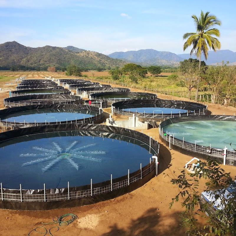 Siembra de camar n blanco en tanques circulares de geom for Tanques circulares para acuicultura