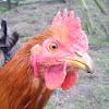 Hühnerhof-Juesven glückliche Hühner