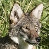 Coyote Watch Canada