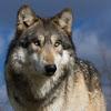Wolf Tronix