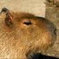 fuafuacapybara