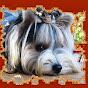 Biewer-Yorkshire-Terrier