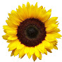 Thesunflowermovement