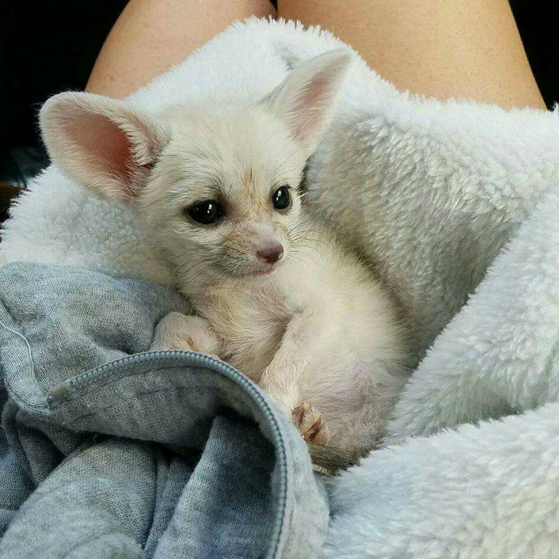Lucy the Fennec Fox