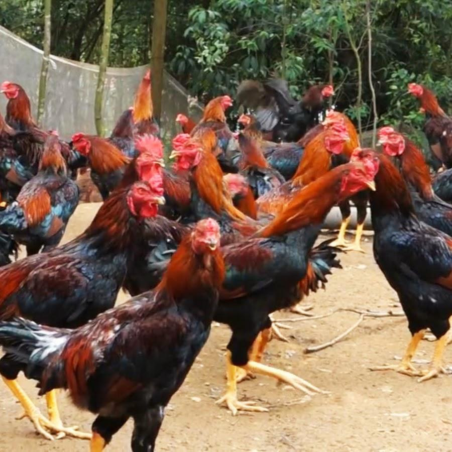 Cara Beternak Ayam - YouTube