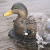 Wonderduck Decoys
