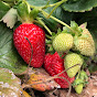Strawberry Bell Pepper