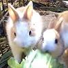 Kawaii usagi rabbit TV