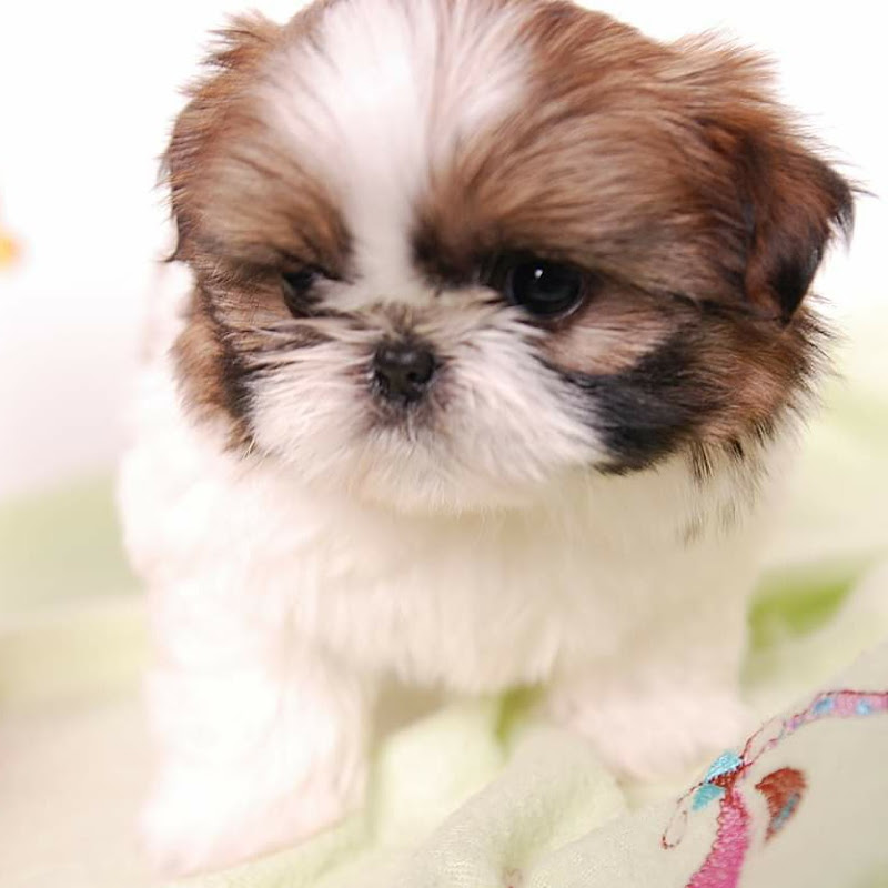 Shih Tzus are the Best