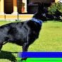 Cachorros Pastor Alemán Negros Solido y Dark Sable