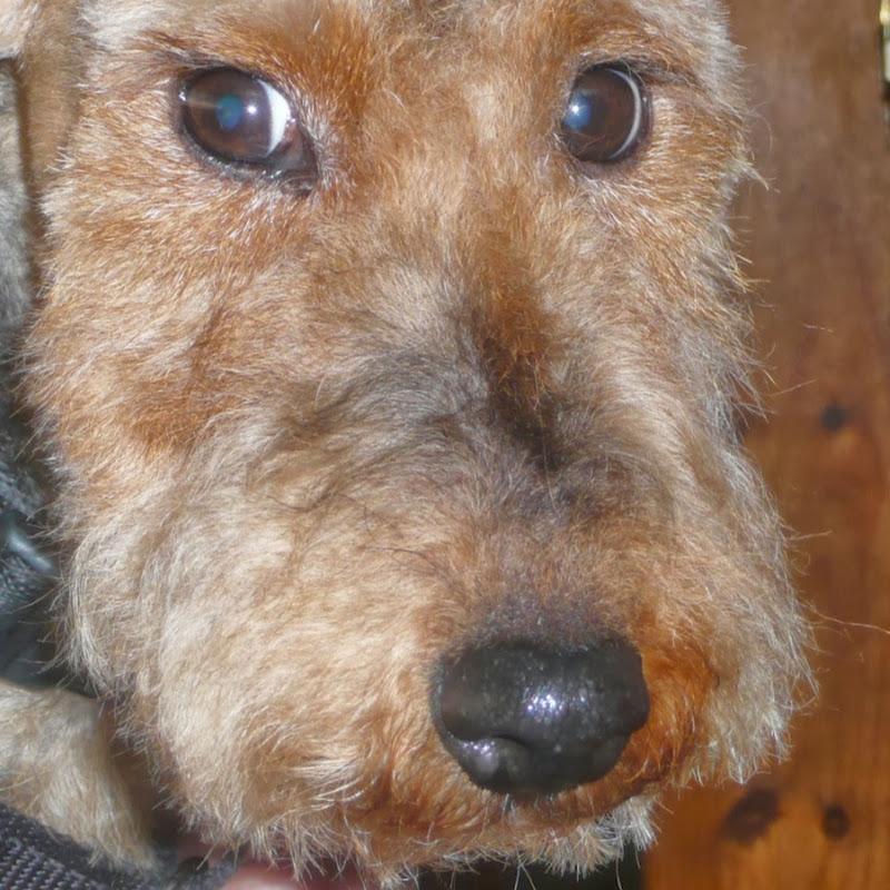 Oscar Wilde wire fox terrrier - Terrier SOS UK Dog Rescue | FunnyDog TV