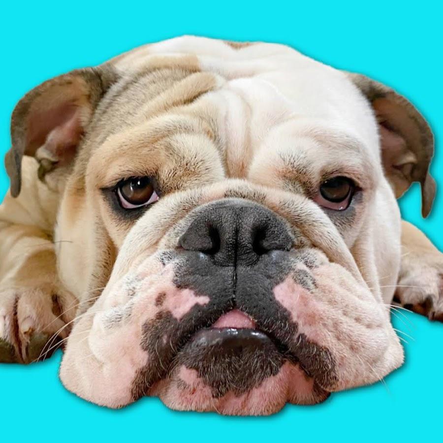 Adventures of LOLA The Bulldog