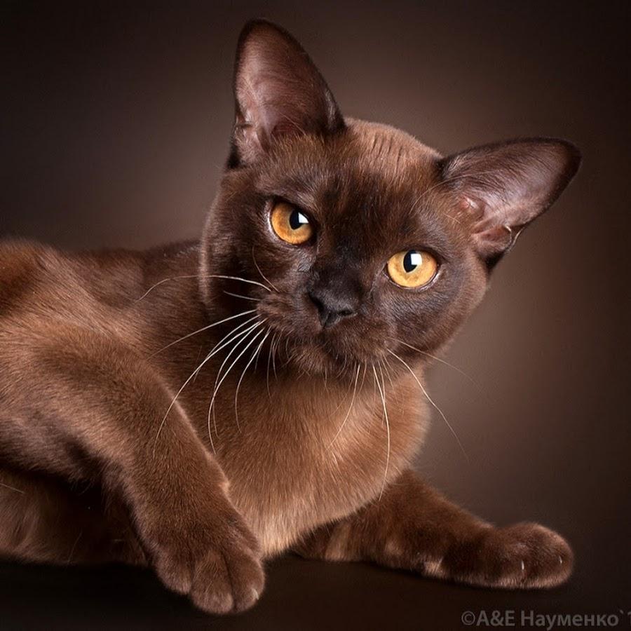 Коричневые коты порода
