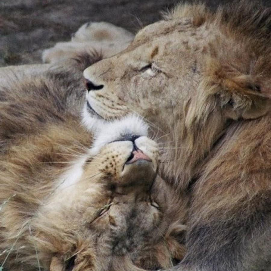Картинки спокойной ночи лев и львица
