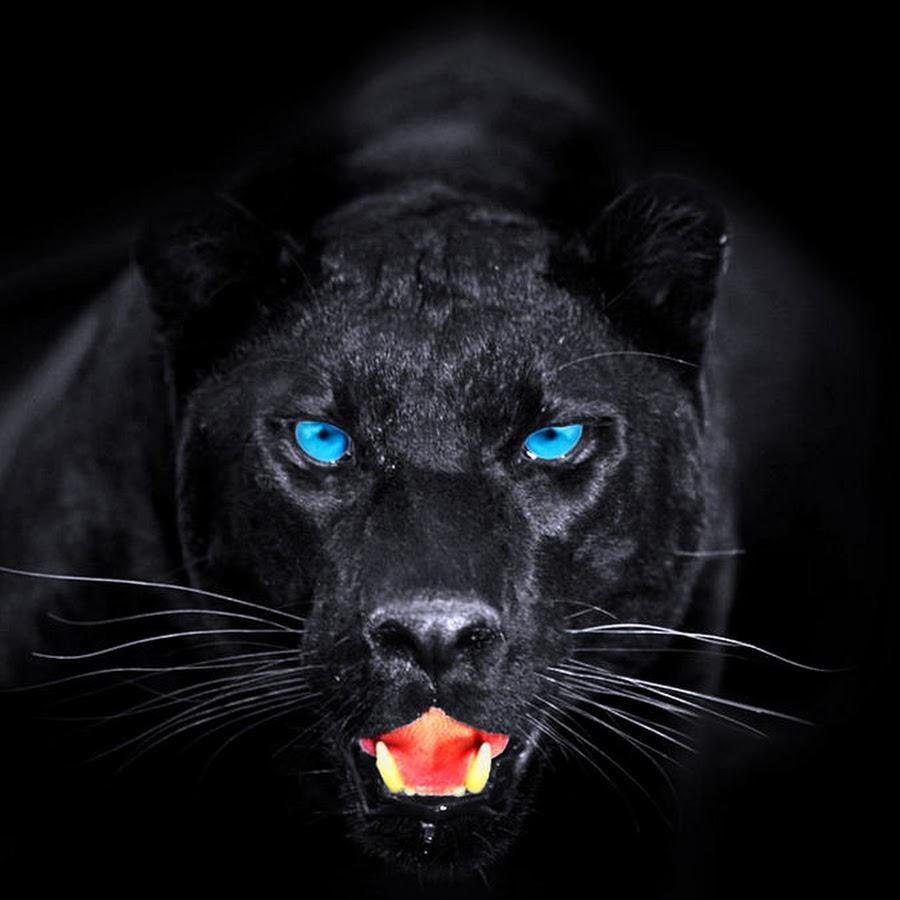 Картинка черной пантеры с голубыми глазами