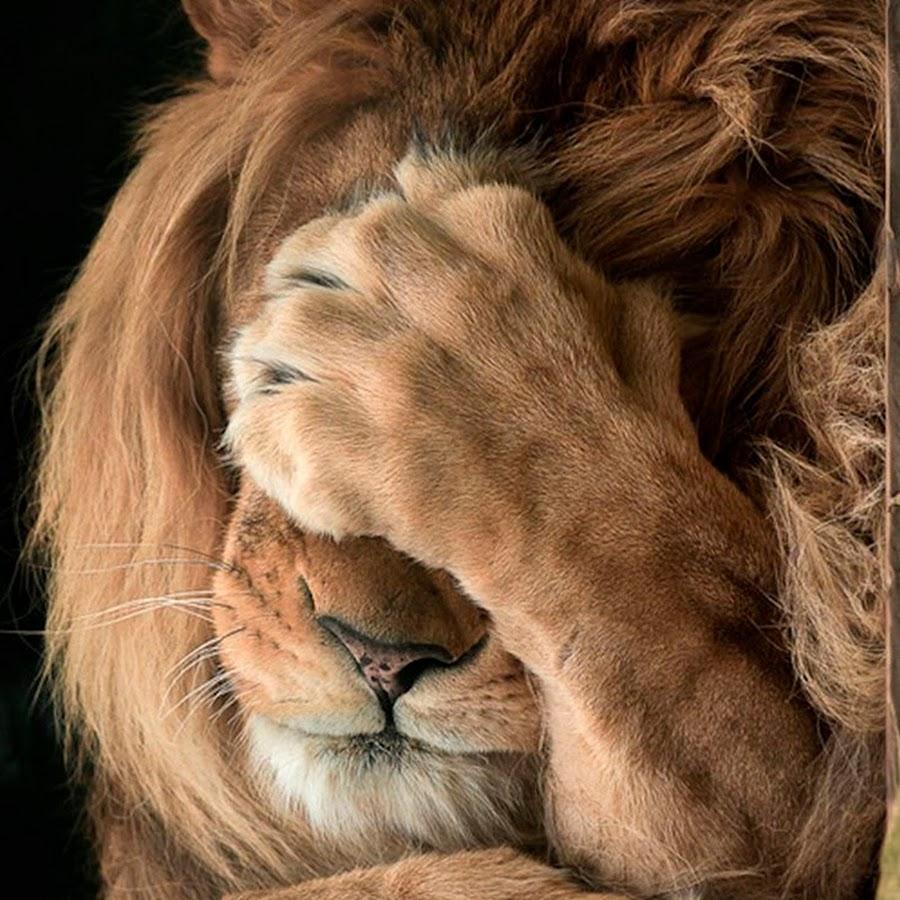 прикольные картинки львов на аву семейный курорт, одно