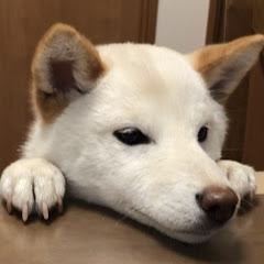 柴犬ノンくん