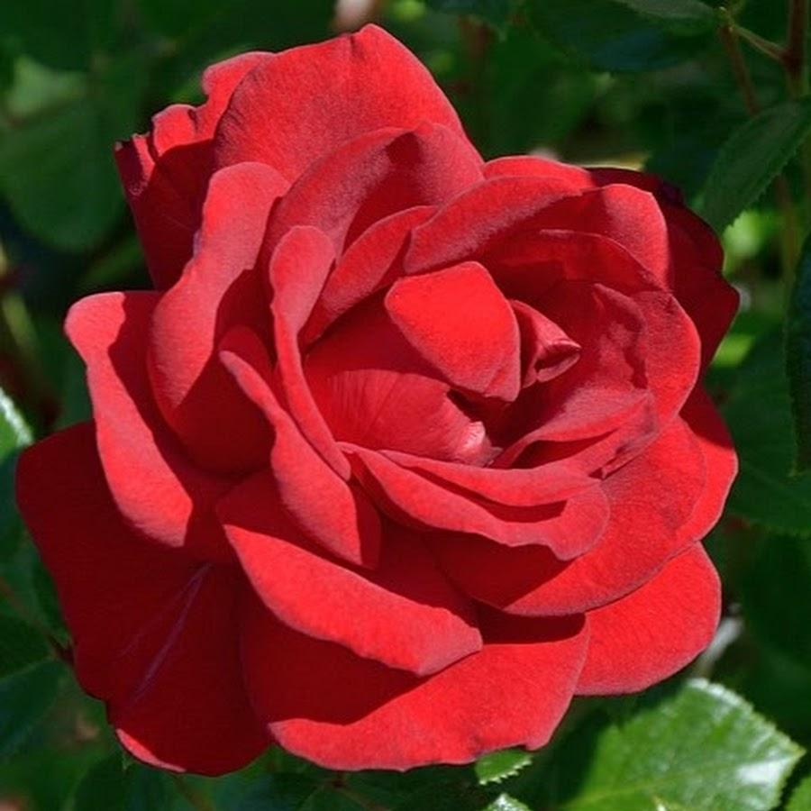 как роза картинки саженцев форма