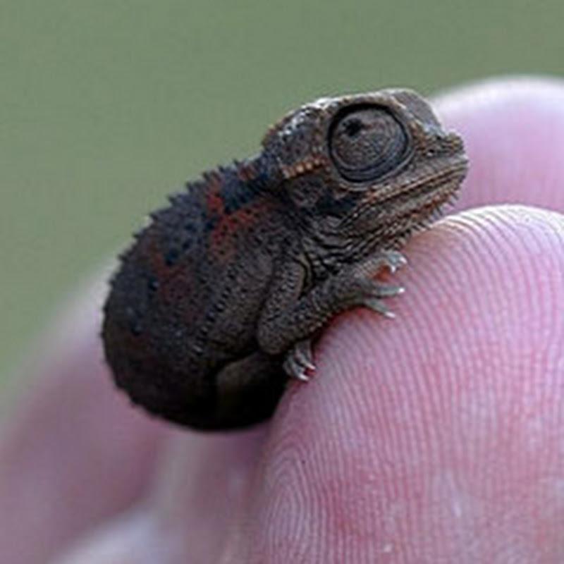 Cutest Baby Chameleon