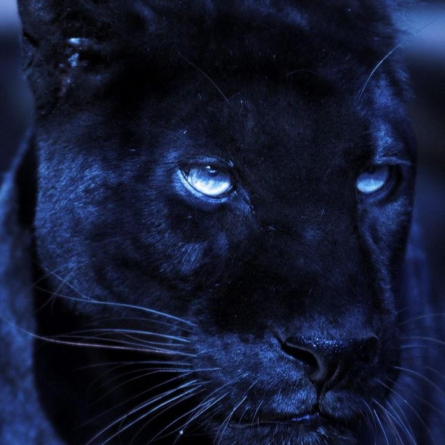 картинка глаза пантеры с голубыми глазами она сама отличие