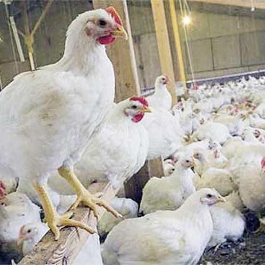 Kiat Sukses Cara Beternak Ayam Broiler Pedaging Potong ...
