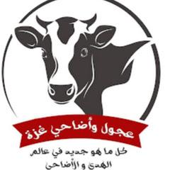 عجول وأضاحي غزة
