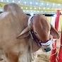 Cow Mandi 021